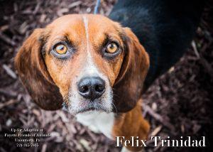 Adopt Felix On Adoptable Beagle Beagle Dog Beagle