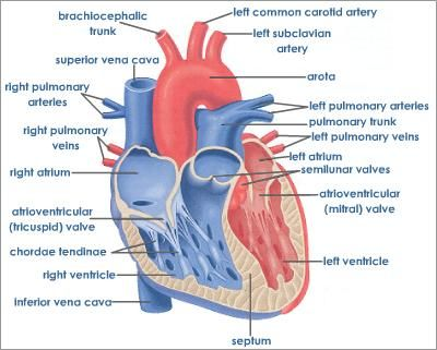 Human heart cross sectional view with detailed labelseg 400321 human heart cross sectional view with detailed labels ccuart