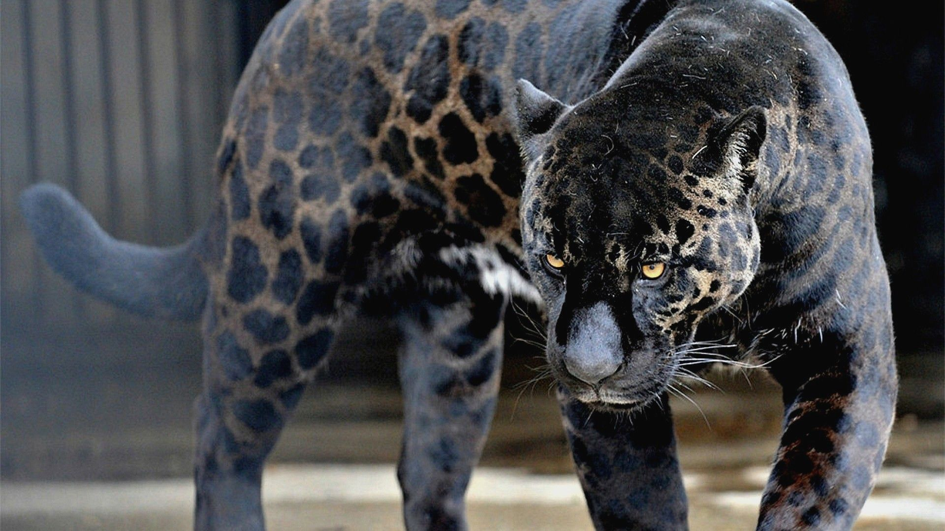 Elegant Black Jaguar