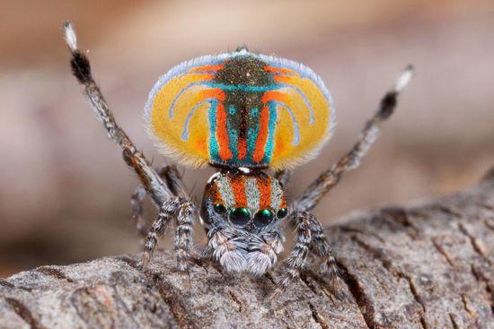 El increíble baile de la araña Maratus volans