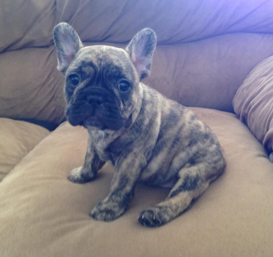 French Bulldog For Sale Hoobly Classifieds Brindle French Bulldog Cute Puppies Bulldog