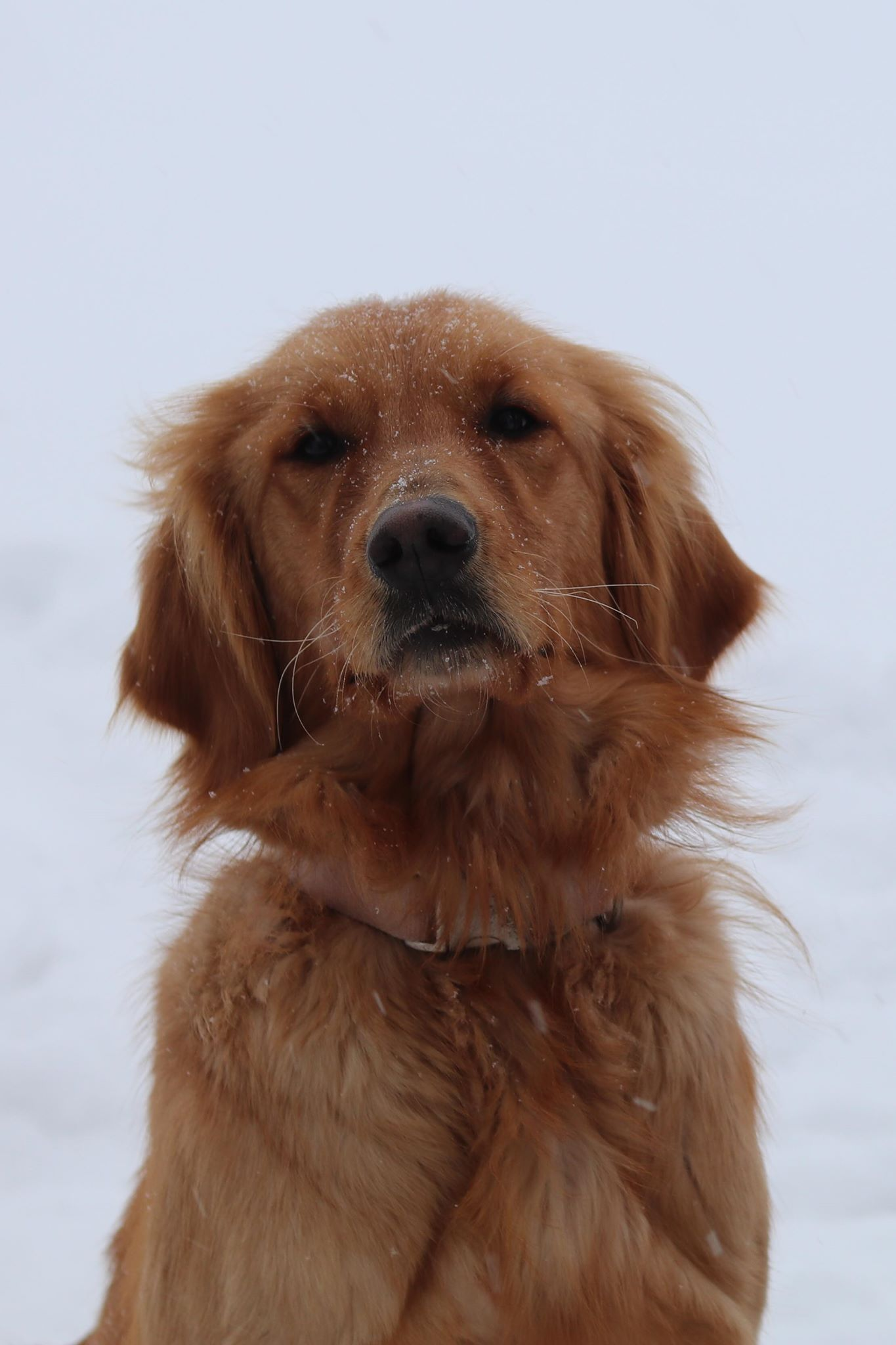 Red Retriever Puppies For Sale Near Me : retriever, puppies, Golden, Retriever, Puppies, Retriever,, Puppy,, Puppy