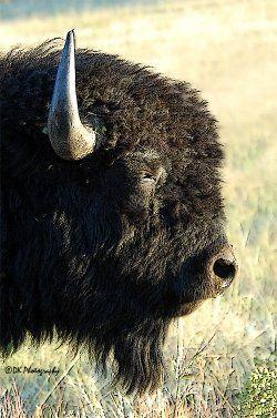 Bison Bull Minotaur Tiere
