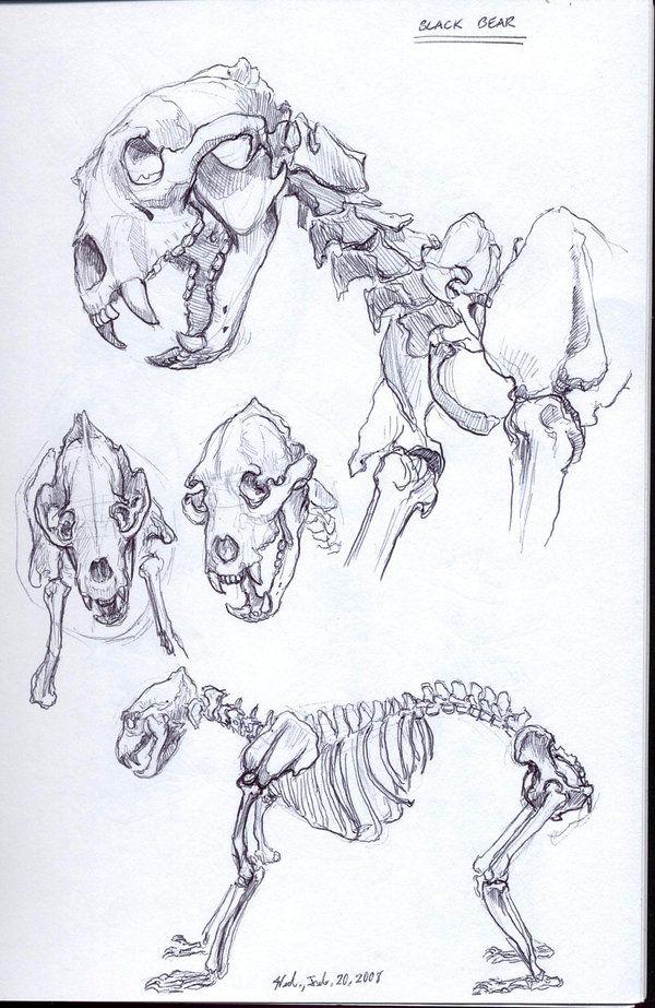 Skeletal Bear Sketches Black Bear Skeleton By Dragon2524 On