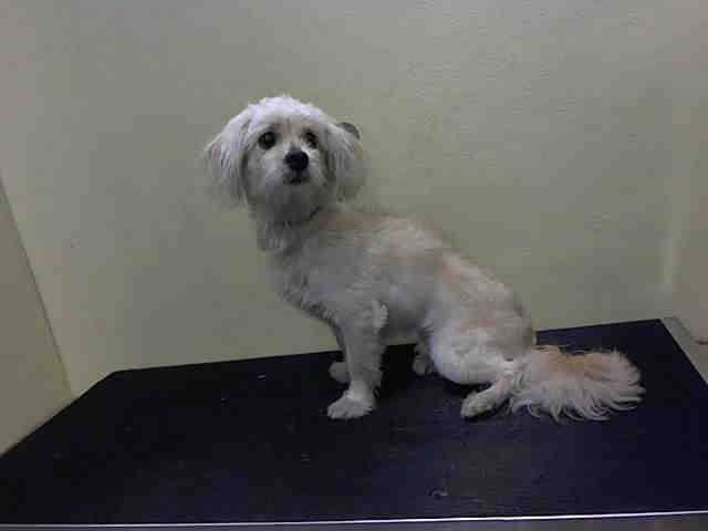 ~ Animal ID #A1035960 ‒ My Name is DAVID. I am a Male, White Toy Poodle mix. The shelter thinks I am about 2 years old. I have been at the shelter since May 11, 2015. Animal Care and Control of New York City - Brooklyn Telephone ‒ (212) 788-4000 2336 Linden Blvd. Brooklyn, NY https://www.facebook.com/OPCA.Shelter.Network.Alliance/photos/pb.481296865284684.-2207520000.1431455733./820755871338780/?type=3&theater