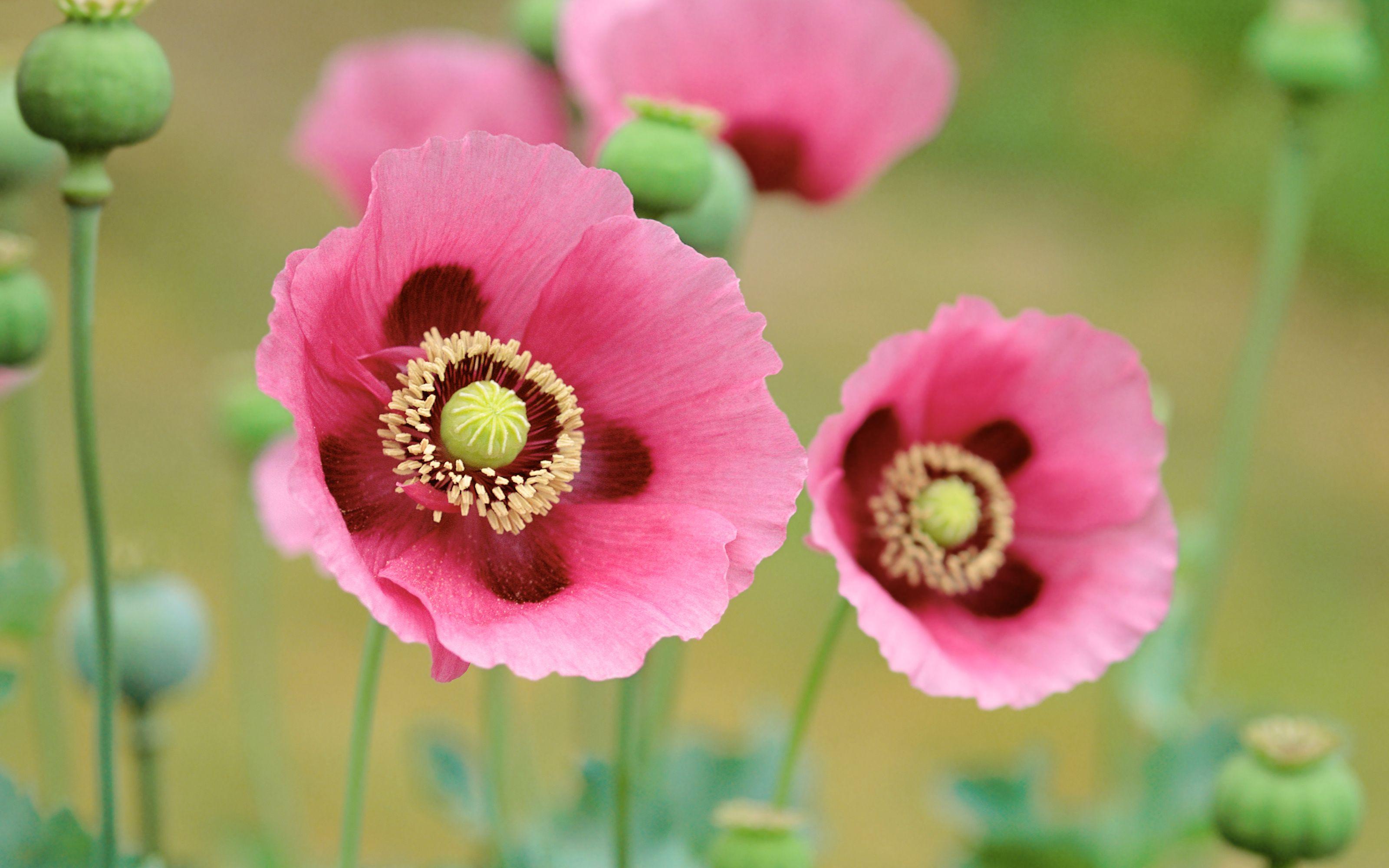 Poppies Rosa Blumentapete Rosafarbene Bluten Und Schone Blumen