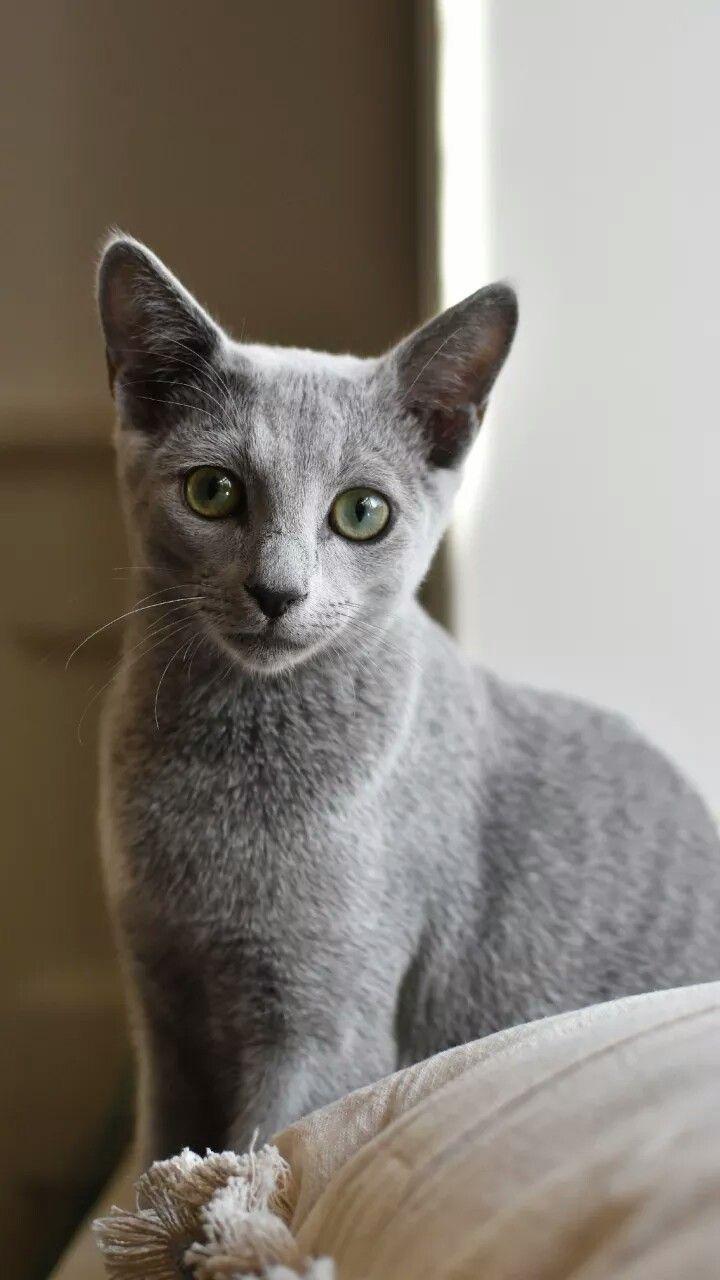 Https Www Facebook Com Dougmarkproductions Russian Blue Kitten Russian Blue Russian Blue Cat Personality
