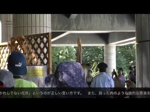 《希少》ショクダイオオコンニャク開花2015 - YouTube Amorphophallus titanum 2015