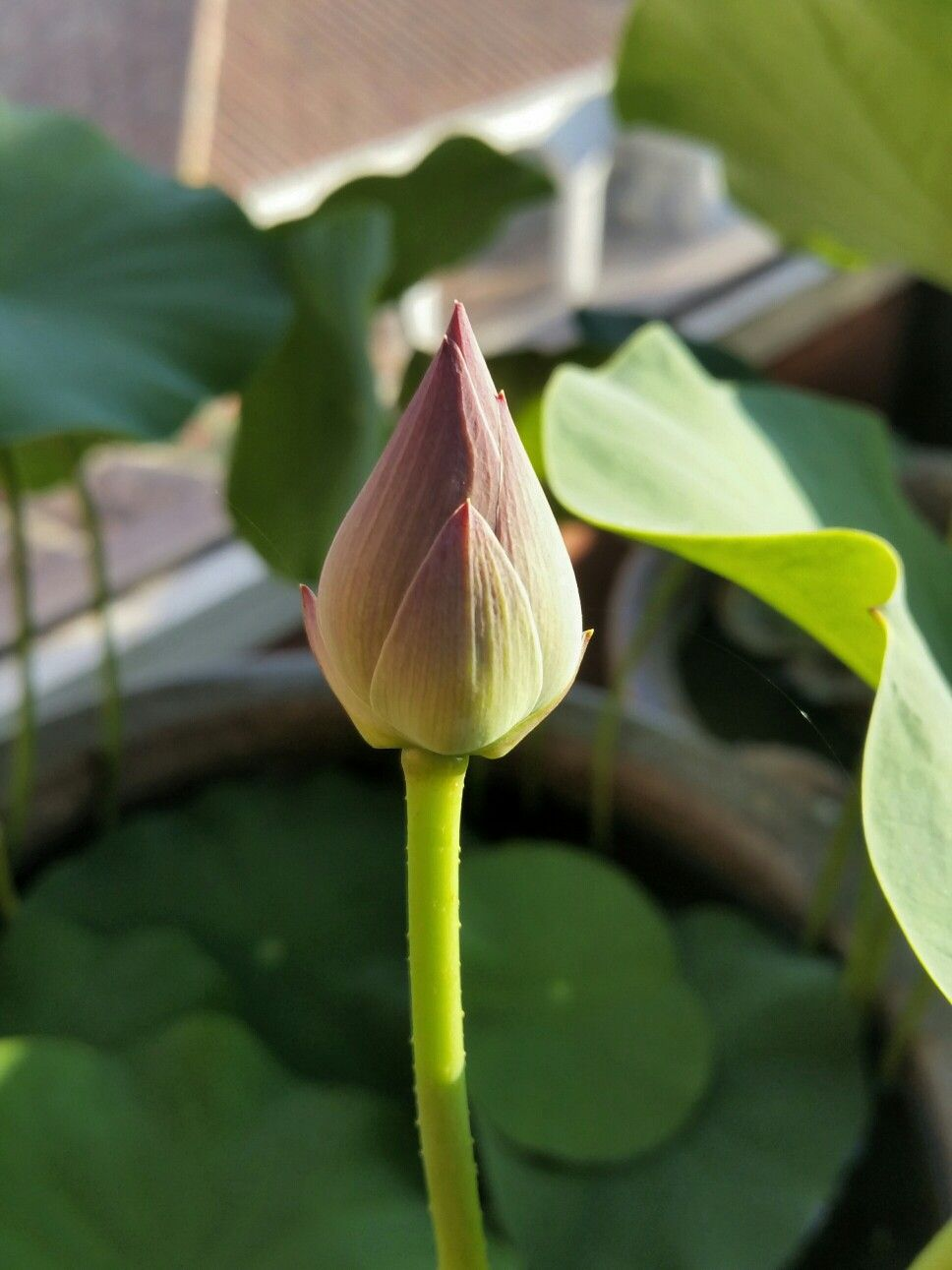 My first lotusflower soon will open plants gardens pinterest my first lotusflower soon will open izmirmasajfo
