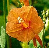 Orange Morning Glory Tiny Orange Noah 10 Rare Seeds Garden Vines Rare Seeds Vines