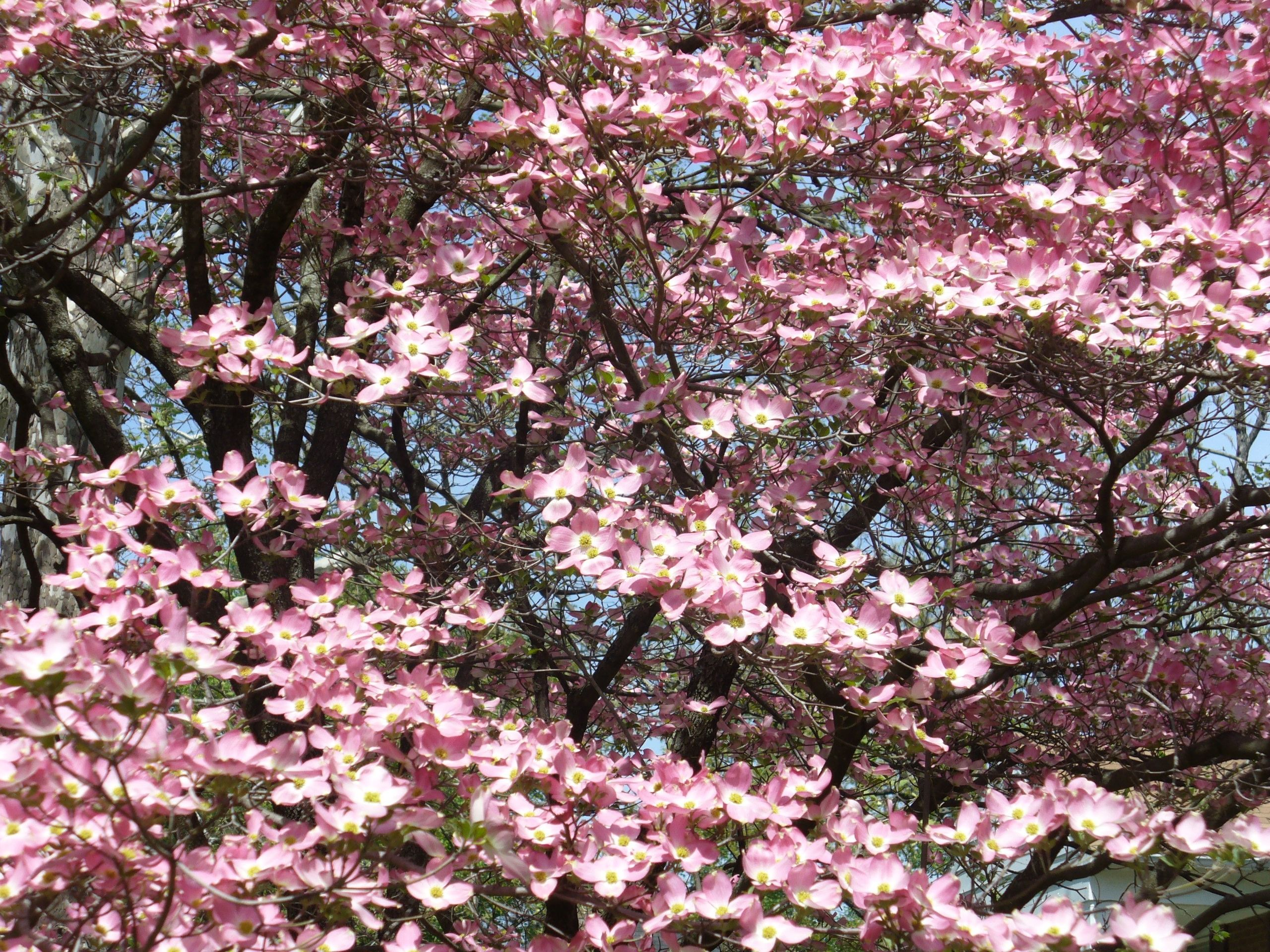 Buy Pink Dogwoods And Other Beautiful Flowering Trees To Plant