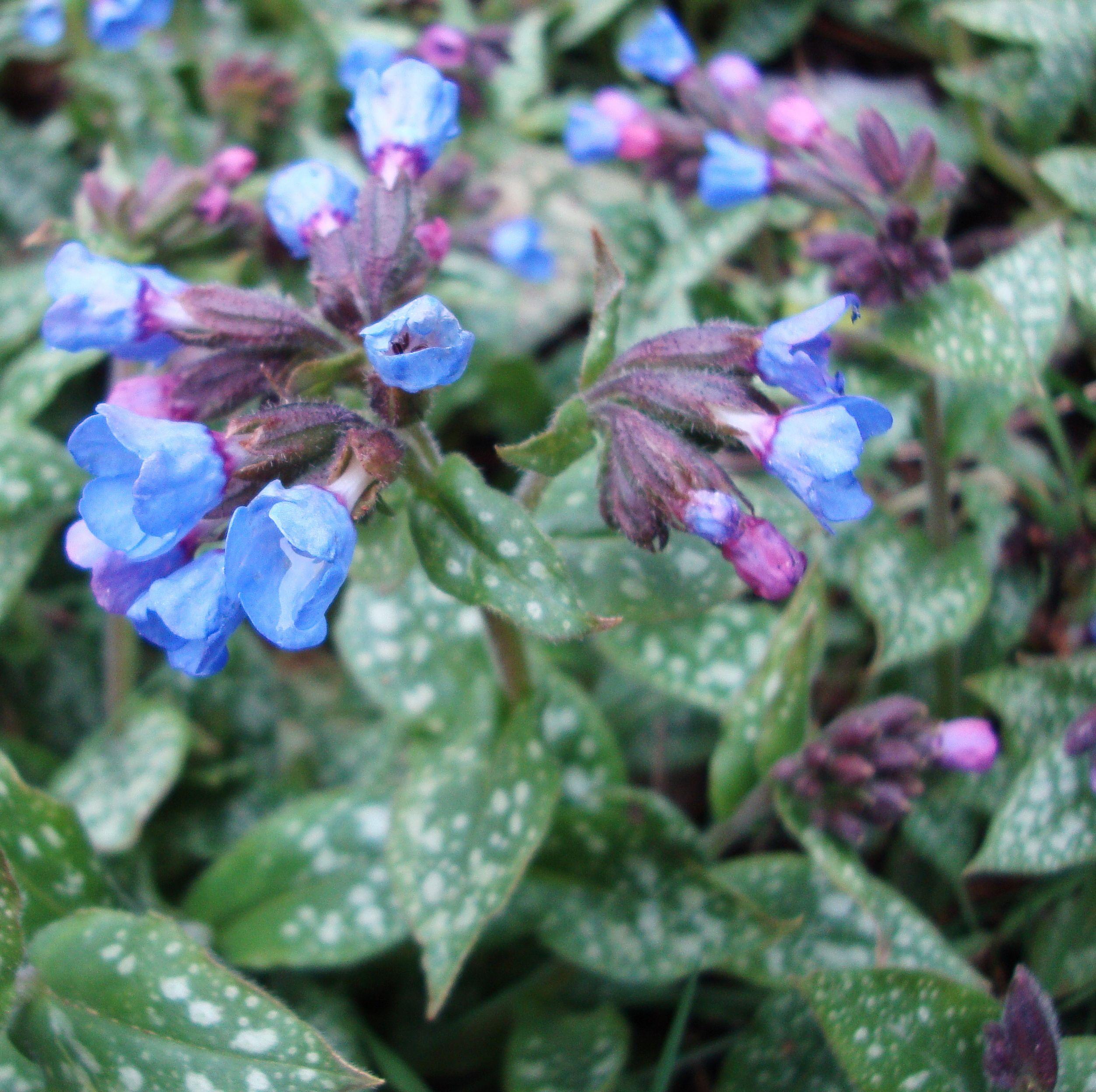 Lungwort Flower Essence Flower Essences Forsythia Bush Plants