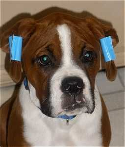Training Natural Ears 1 Boxer Puppy Boxer Dogs Animals And Pets