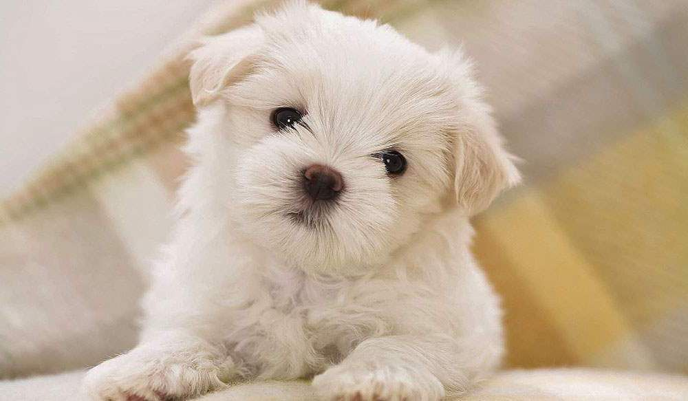 Top 10 Dog Breeds With Little To No Shedding Best Small Dogs