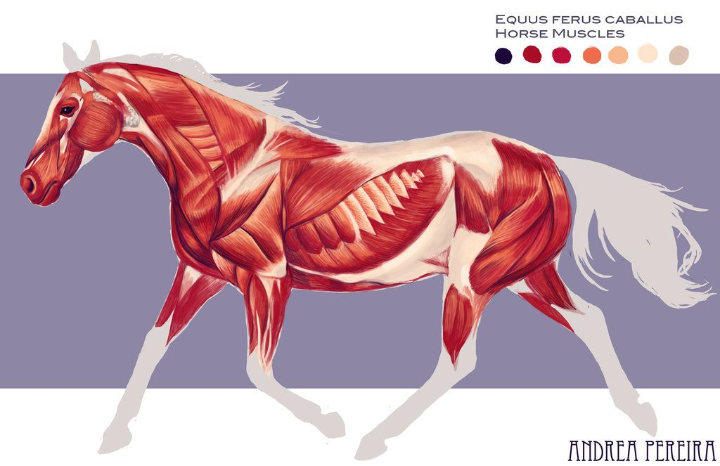 equine anatomy neck muscles | Horse Muscles Horse Muscles by Hatarus ...