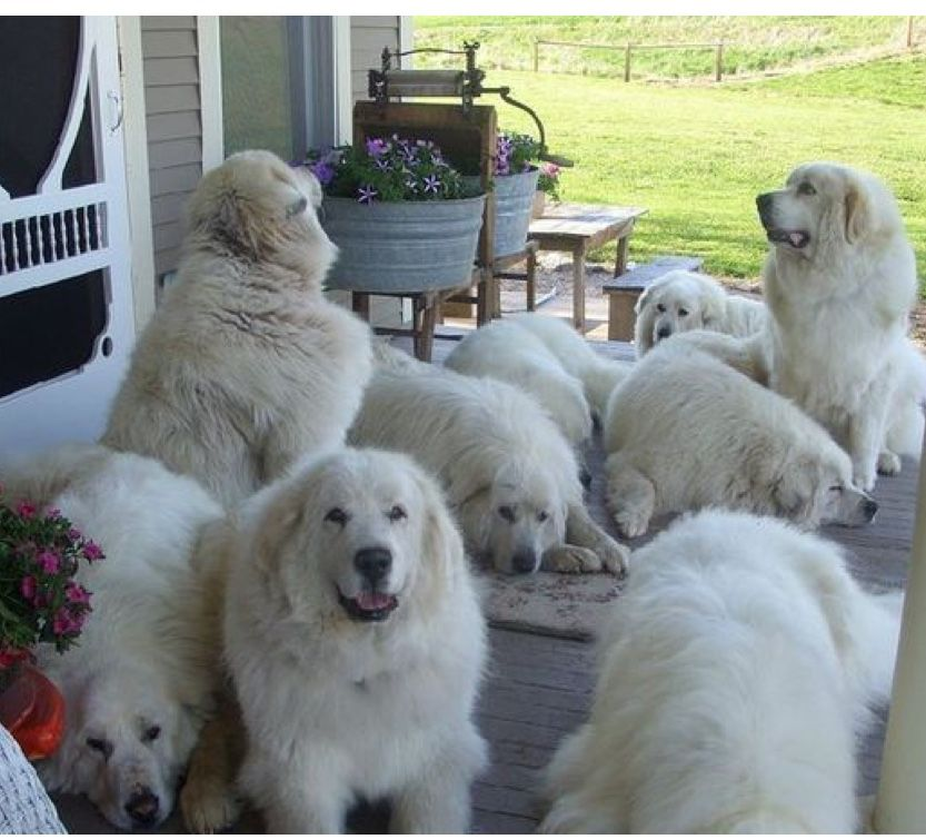This Would Be A Dream Come True Great Pyrenees Dog Pyrenees