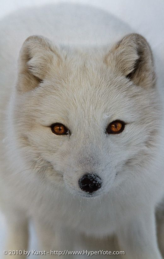 Artic Fox Como Zoo By Kurst With Images Animal Photography Animal Planet Animals