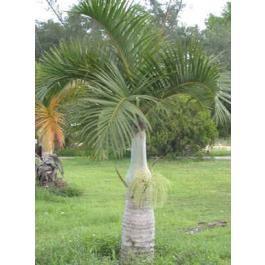 Hyophorbe Verschaffeltii Seeds Spindle Palm Seeds Mascarena Verschaffeltii Seeds Garden Sculpture Seeds Palm