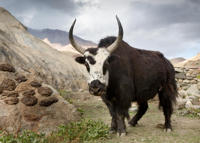 Hybrid Of Yak And Domestic Cattle Imgur Animaux Animaux De La Ferme