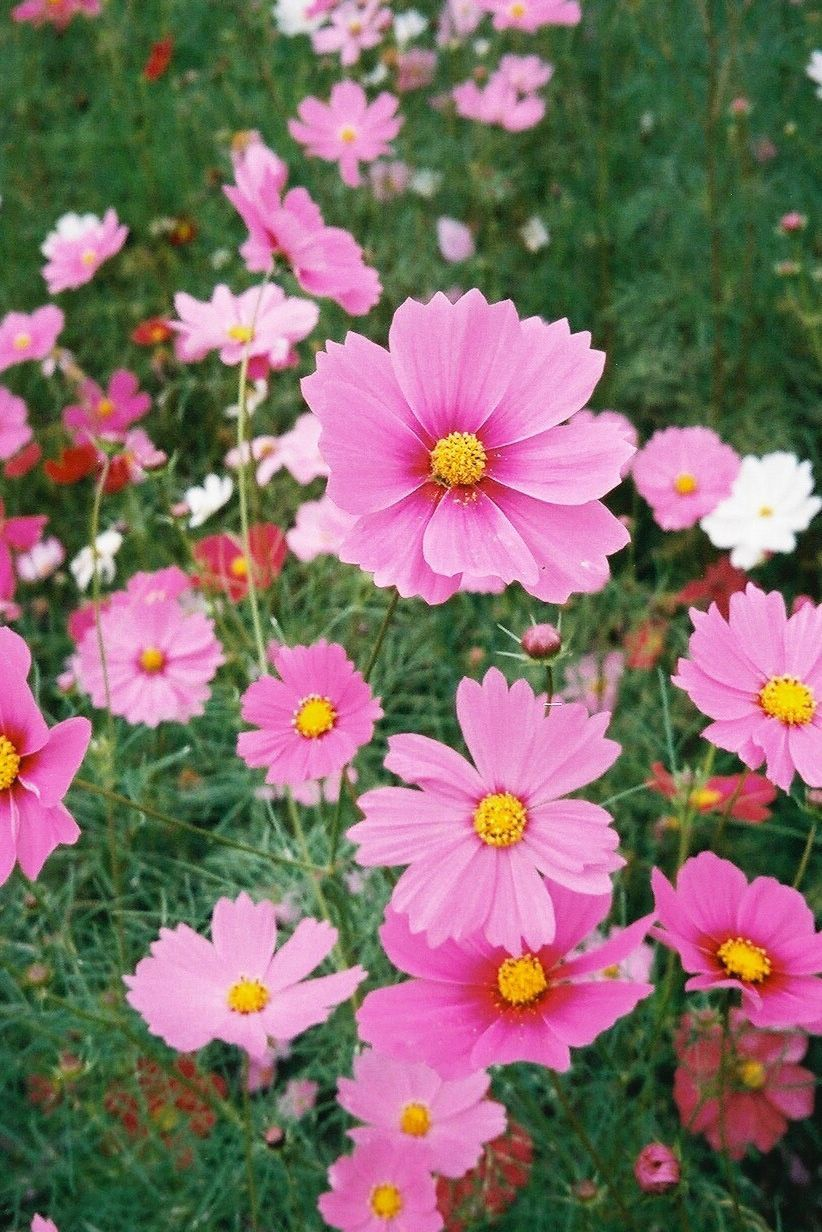 Cosmos Also Known As Mexican Aster Is A Great Low Maintenance Plant For The Garden Learn How To Grow Cosmos Plants In Cosmos Plant Plants Flowers Perennials