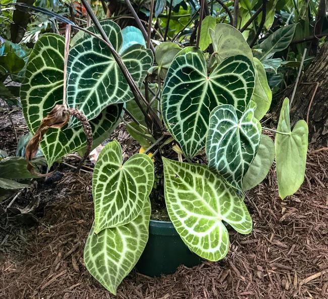 An Introduction To Anthuriums Our 5 Favorite Species And Anthurium Care In 2020 Anthurium Care Anthurium Plant Anthurium