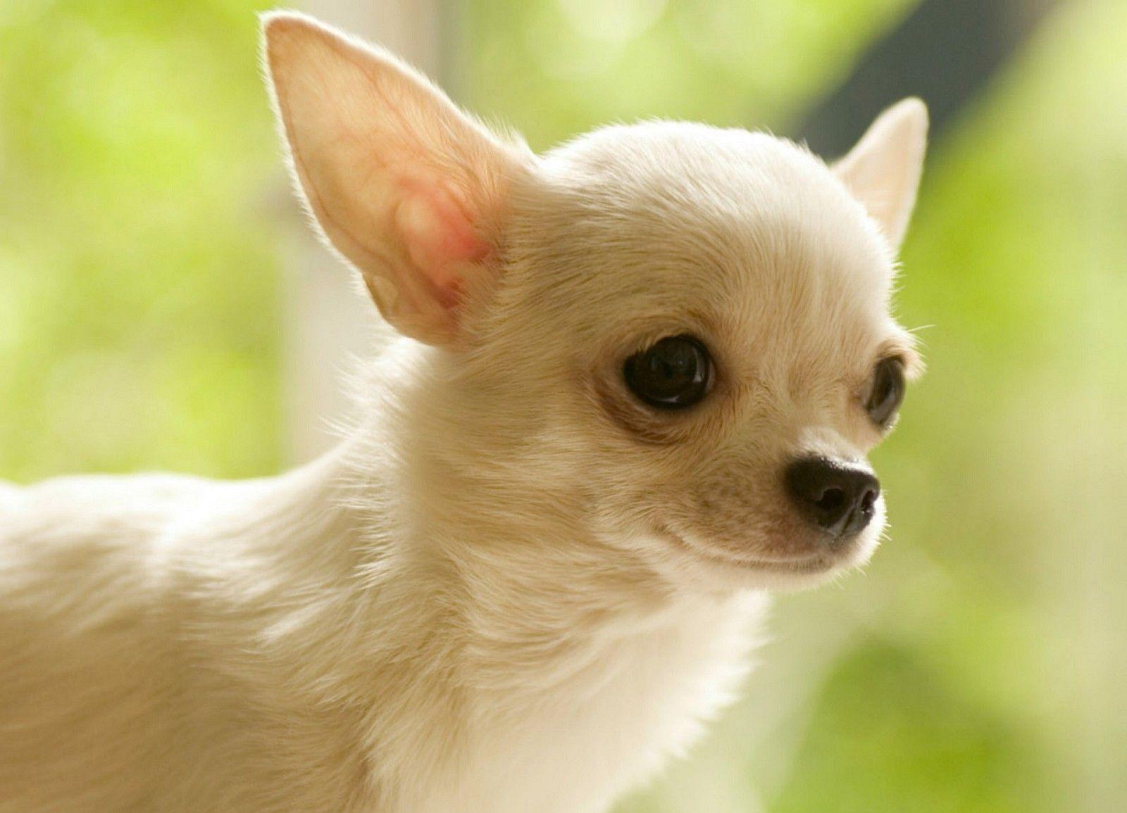 Teacup Chihuahua Hd Wallpaper 1280 720 Beraplan Avec Images