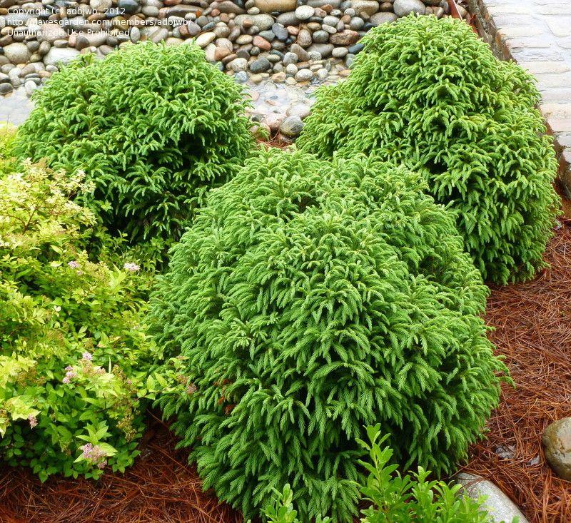 Japanese Garden Plants: Dwarf Japanese Cedar 'Globosa Nana'