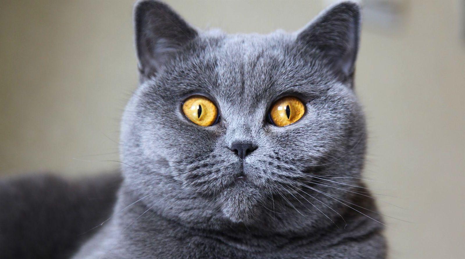 british shorthair cat CAT Pinterest