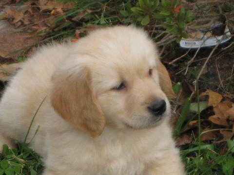 Golden Retriever Puppy For Sale In Mattapoisett Ma Adn 22687 On