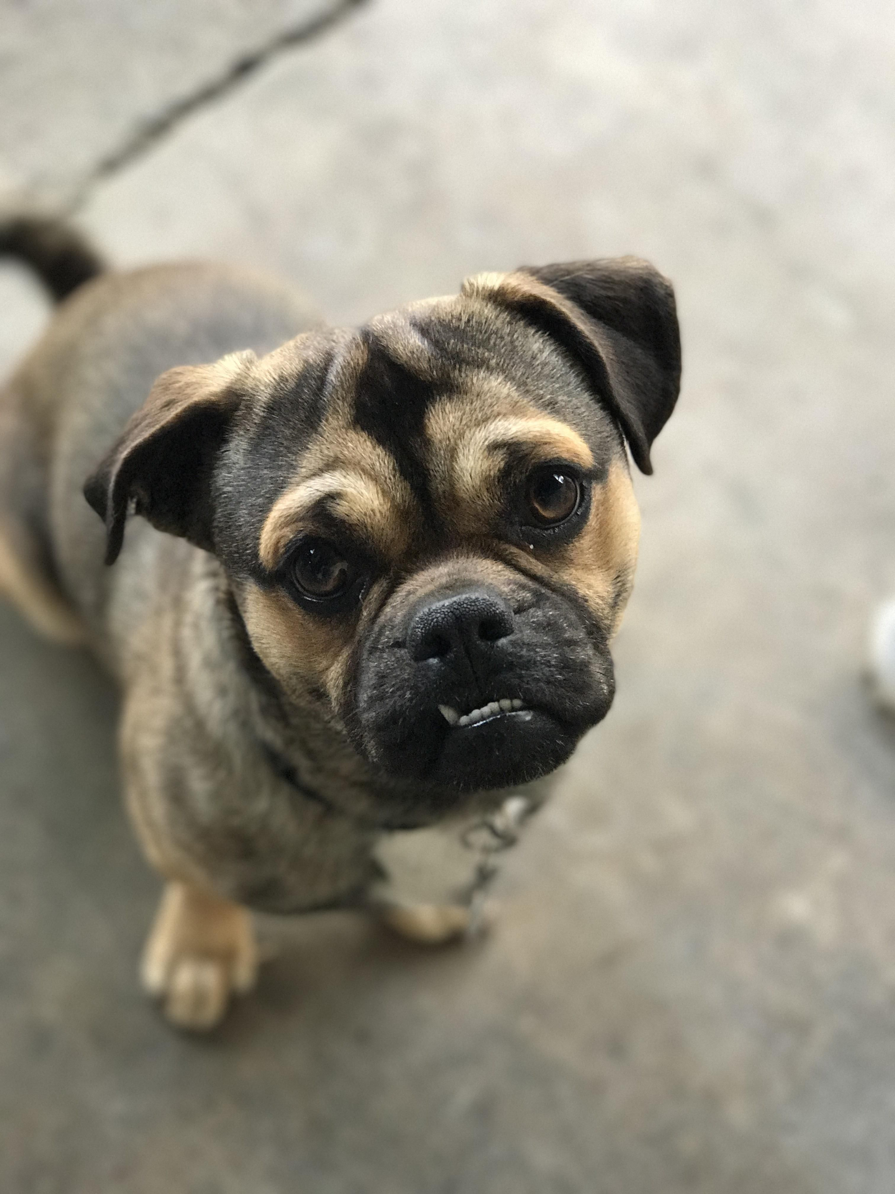 Our puggle Zero cute puppies cats animals