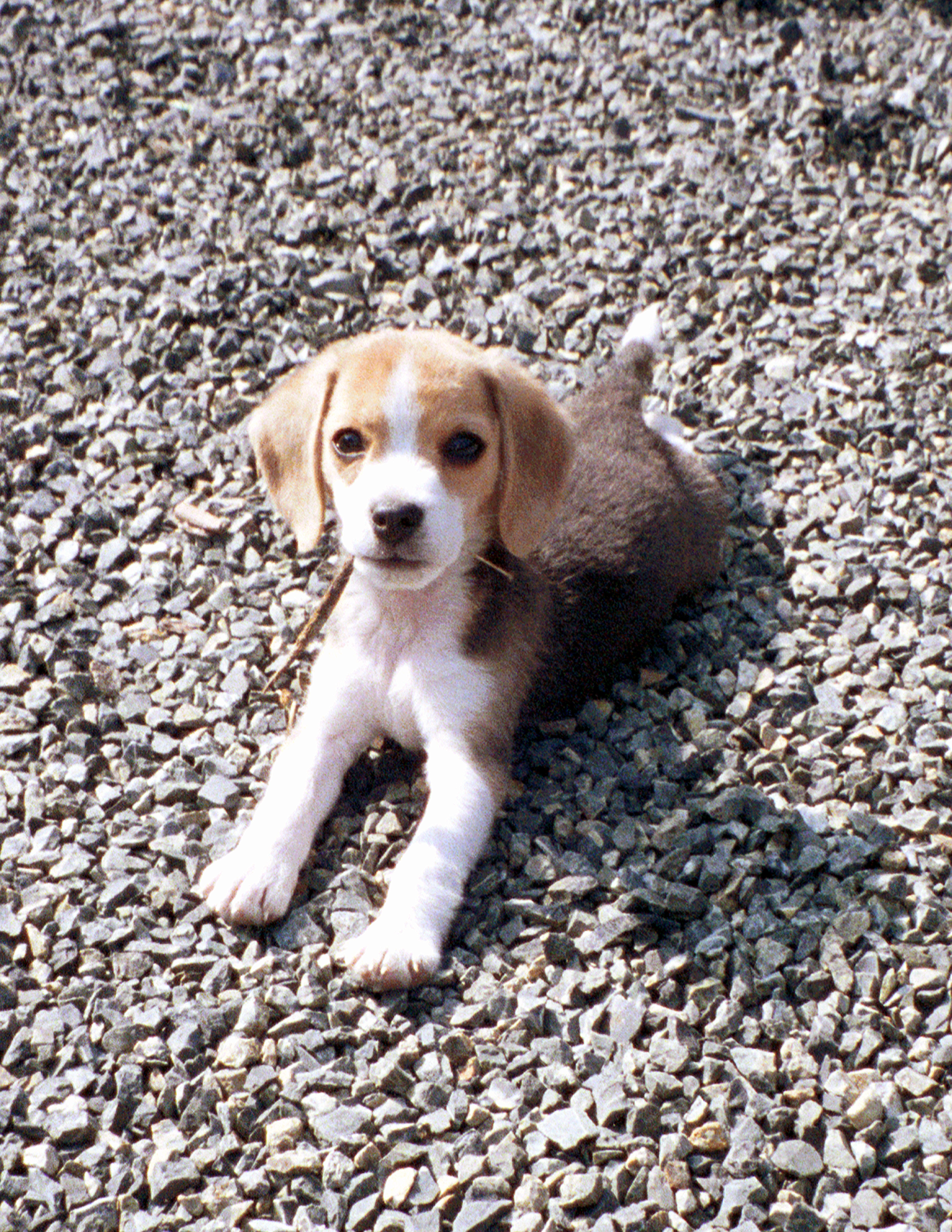Pin By Morgan On Beagle Beagle Animals Dogs