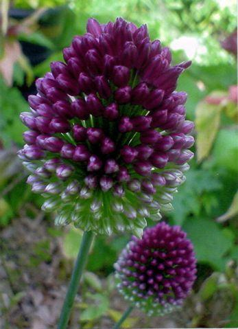 Allium Drumstick Bride Bouquet Tablescape