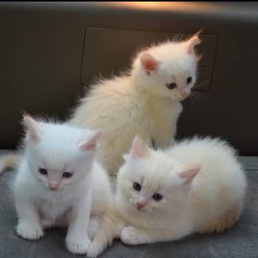 Super Smart Ragdoll Kittens Kittens Cutest Cute Cats Cute Cats And Dogs