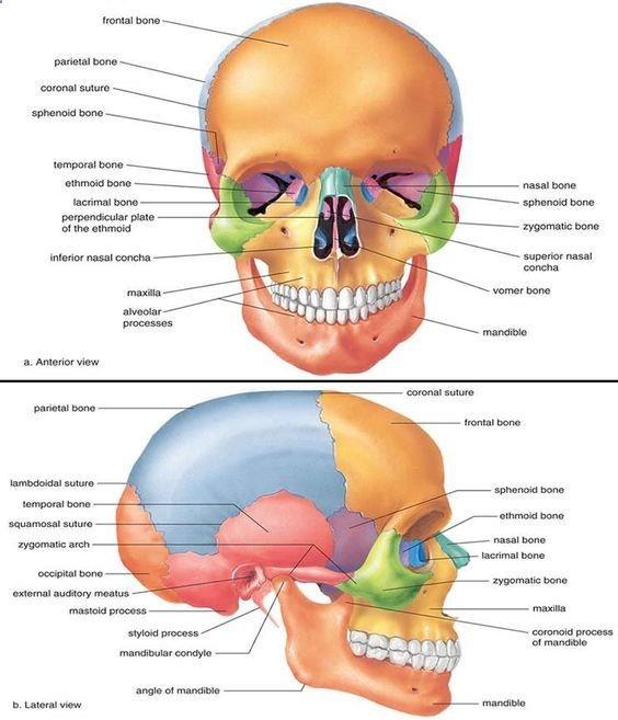 Bone Facial Anatomy Diagram Nursing Pinterest Facial Anatomy