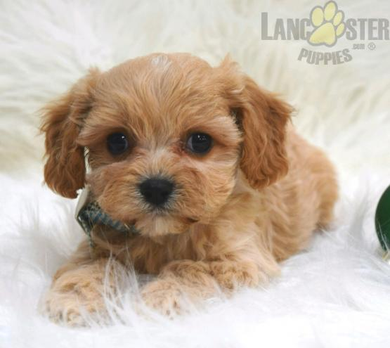 Voyager Cavachon Puppy for Sale in Millersburg, OH (With