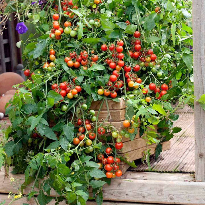 Grafted Tomato Plants F1 Lizzano Gardening Practically 400 x 300