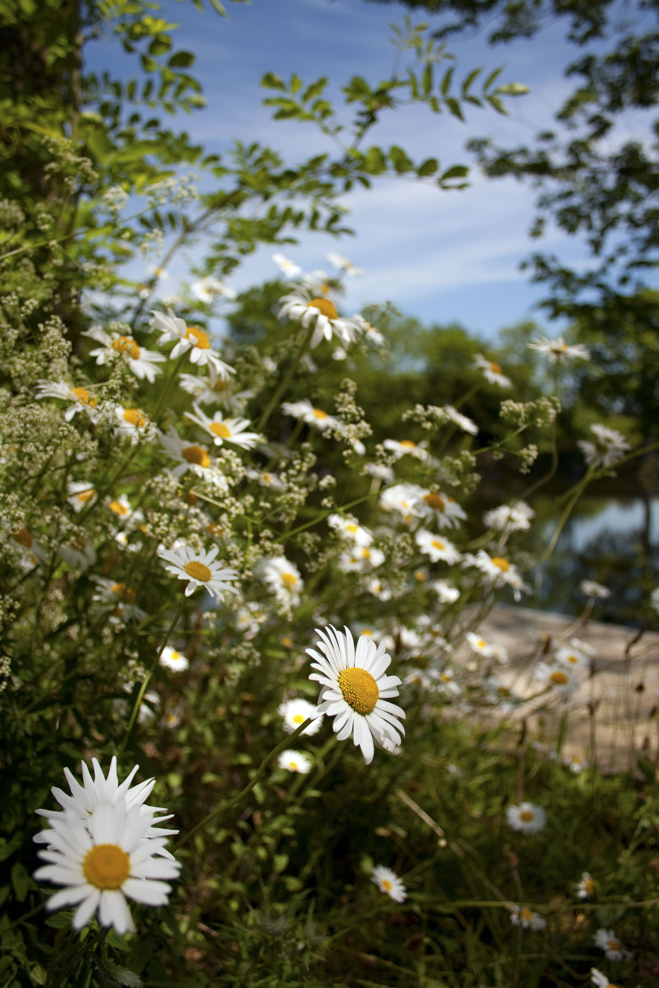 Oh my love for daisys dancing daisies pinterest flowers oh my love for daisys izmirmasajfo