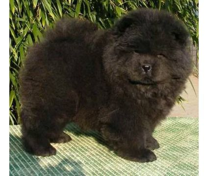 Chow Chow Baby Bear Cutest Friends In The World Black