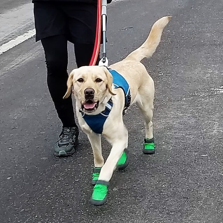 The Daily Spike Running With Guiding Eyes Guide Dogs For The