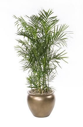 Houseplants safe for cats: Bamboo palm | herbal medicine ...