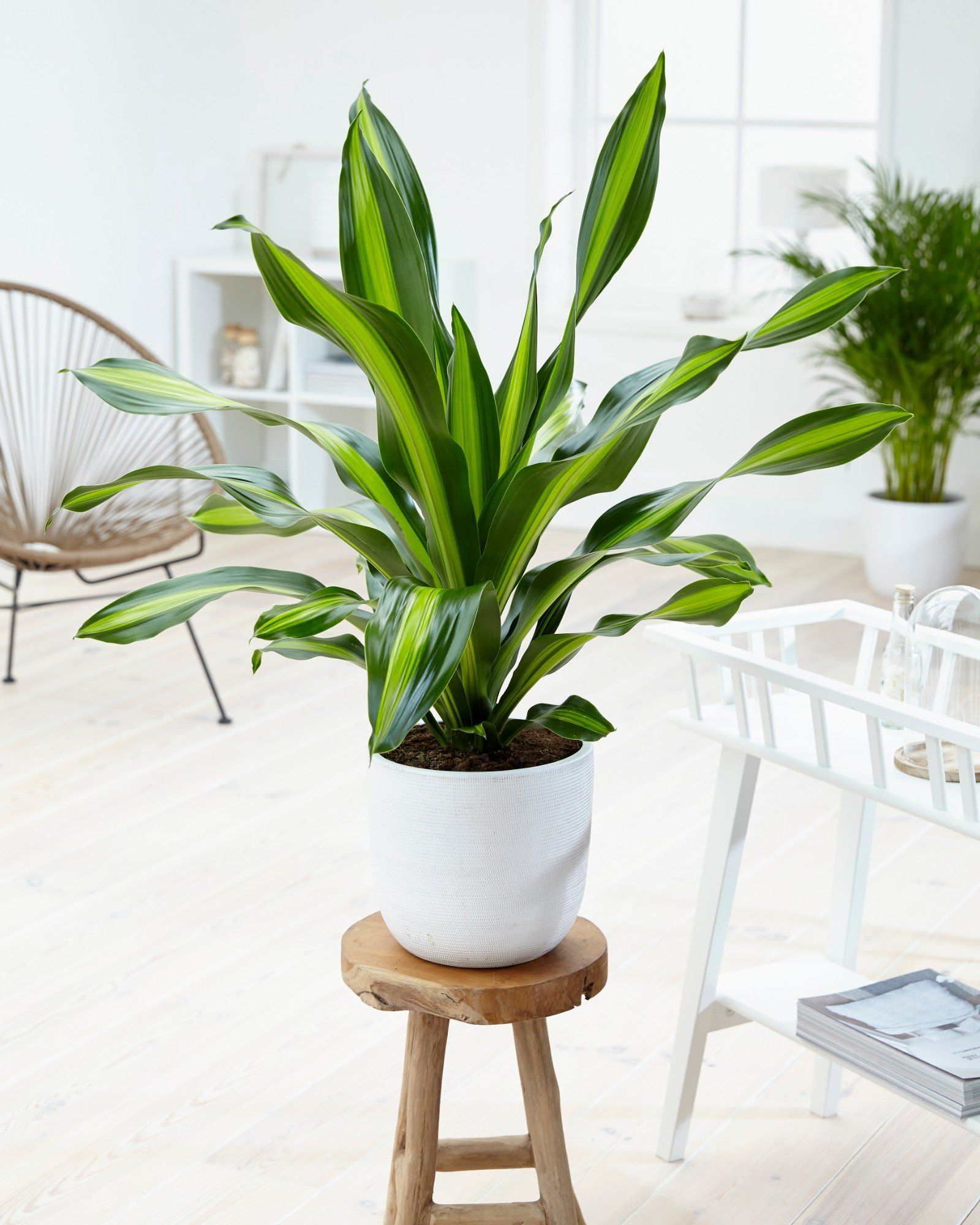 plante dépolluante dracaena papilloma virus conseguenze per l uomo