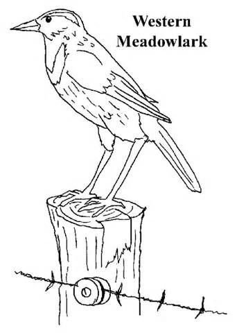 Montana State Tree Coloring Page Coloring Pages With Images