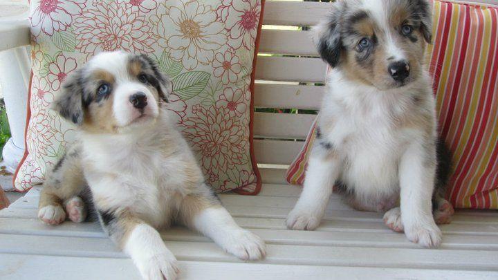 my aussie pups!