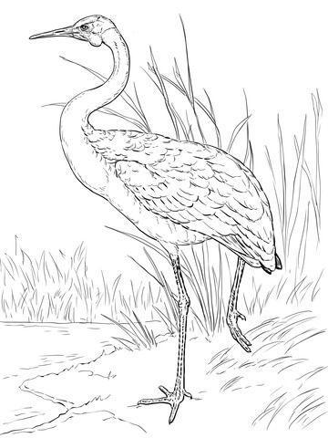 Grulla Brolga o Australiana Dibujo para colorear | arenado ...