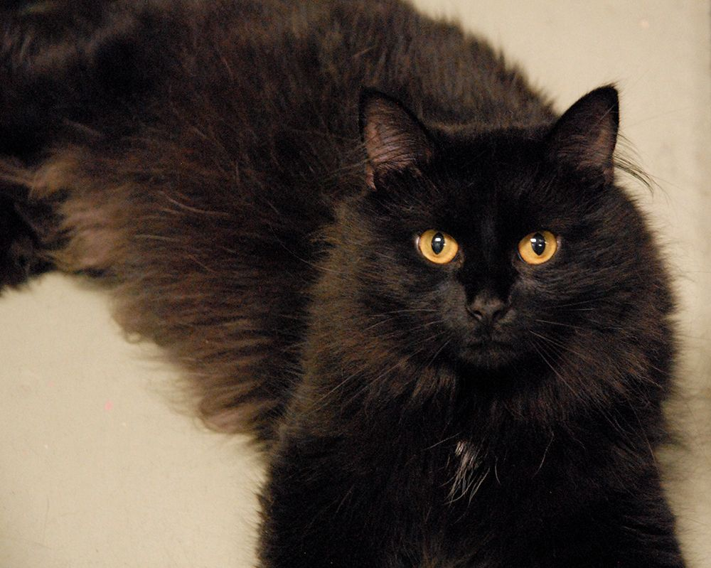 Today three of the Fluffiest and blackest cats were