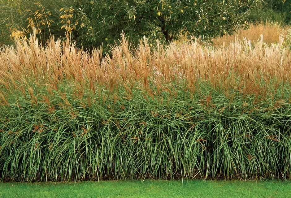 Miscanthus Sinensis Yakushima Dwarf Creates A Divide At Marchants Hardy Plants Nursery In East Sus England