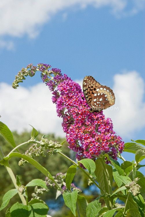 Butterfly Bush Buddleja davidii aka Buddleja davidii 'Bicolor' against blue sky and clouds and Silver bordered Fritillary Butterfly. Love this beautiful  scene!!