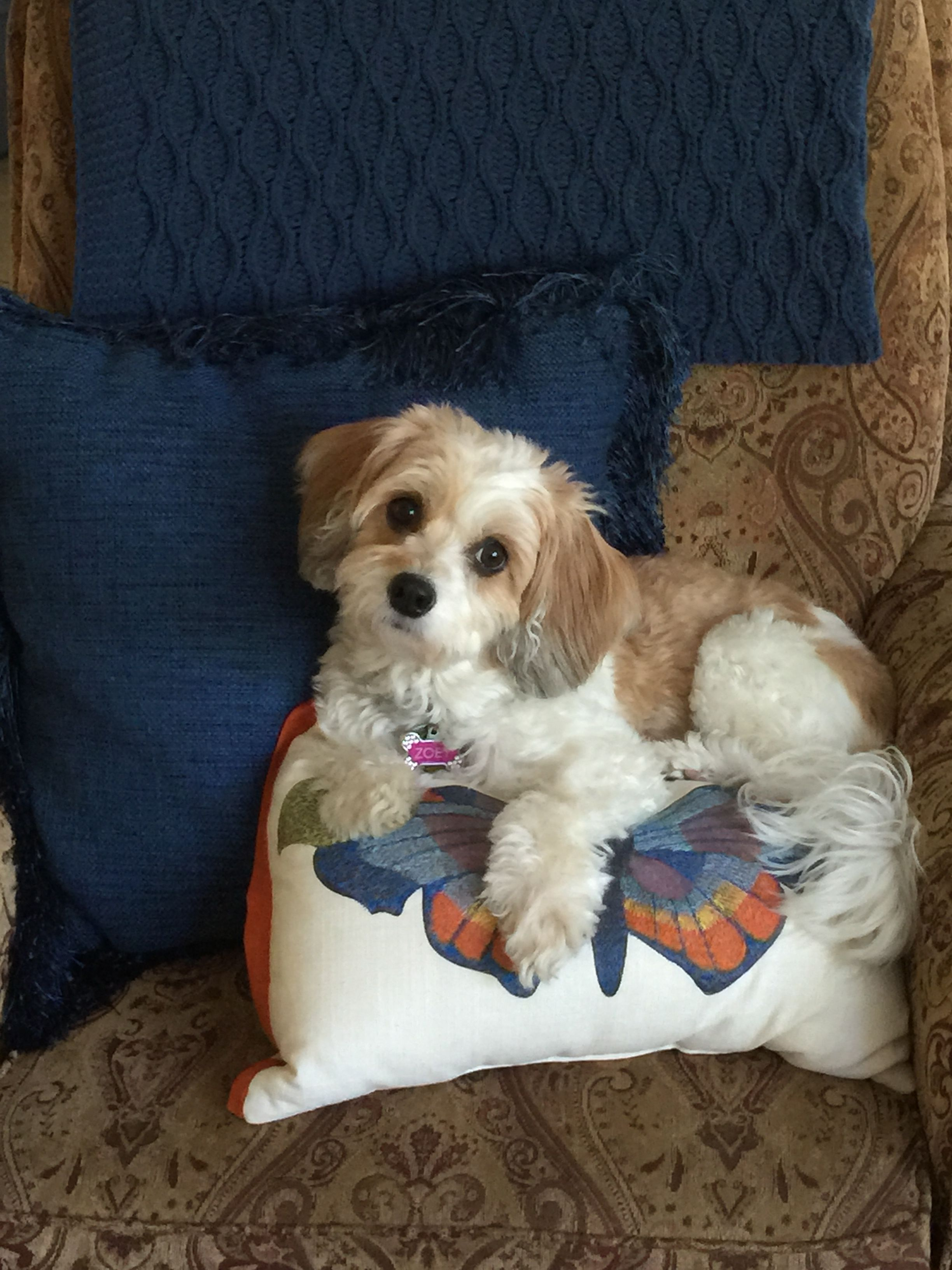 My beautiful Cavachon, Zoey. She brings me so much joy and