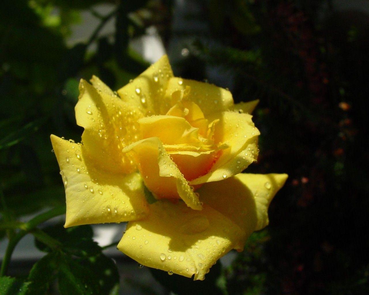 Ảnh hoa hồng siêu đẹp cho ngày lễ 20/10  http://dienhoadanang.com/vn/1410494596-Anh-hoa-hong-sieu-dep-cho-ngay-le-2111.html