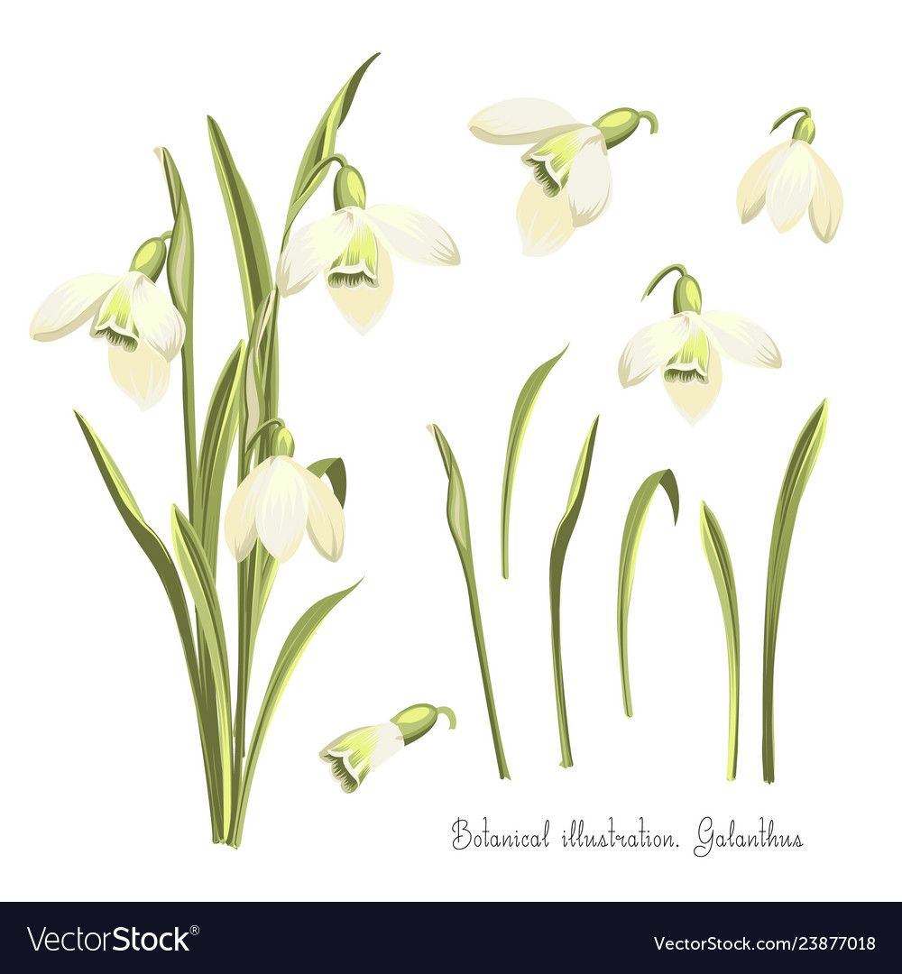 Set Of Flowers Of Snowdrops Botanical Royalty Free Vector Sponsored Snowdrops Flowers S Spring Flower Bouquet Wedding Invitation Vector Vector Flowers